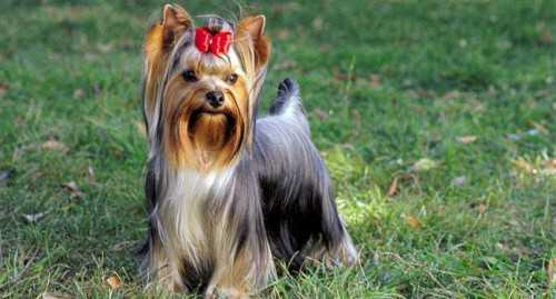 порода собак английской королевы: исторические факты, родословная обитателей дворца и их привилегии