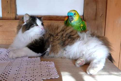 попугай вырос в одном доме с кошками посмотрите, что из этого получилось