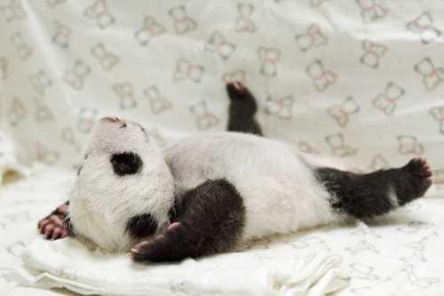 панда развлекается со снеговиком видео набрало больше 1 миллиона просмотров и развеселило планету